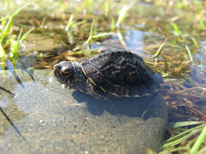 western-pond-turtle_small