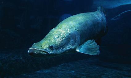 giant-amazon-river-fish