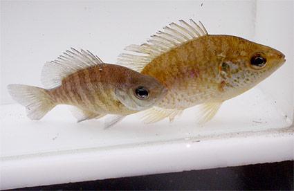 bluegill-redear-fish