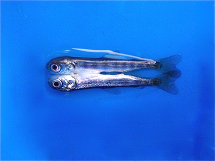 conjoined-chinook