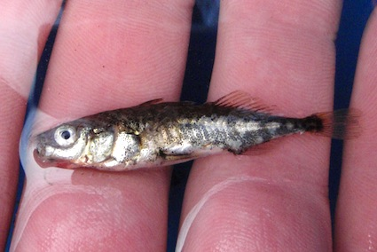 three-spined-stickleback