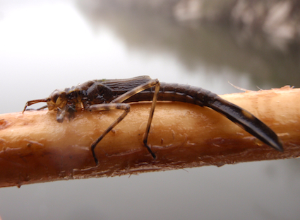 dragon_fly_larva