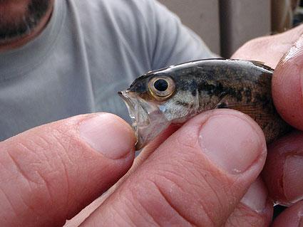juvenile-largemouth-bass