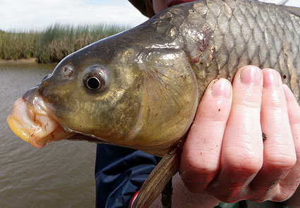 carp Cyprinus carpio freshwater species california