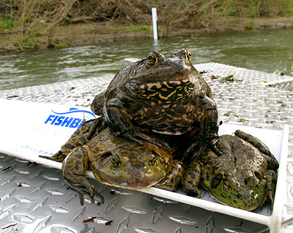 frog-pile