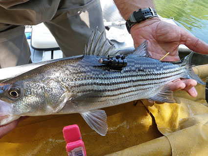 environmental consulting and environmental research field crew tagging predator bass