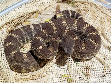 rattlesnake-net