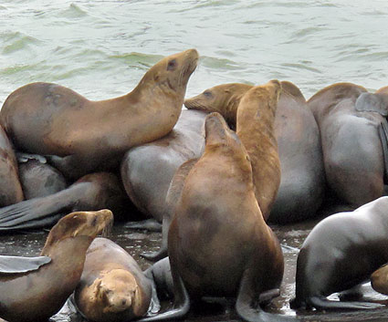 sea-lions-peir