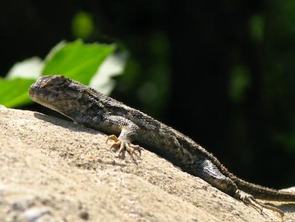 western-fence-lizard