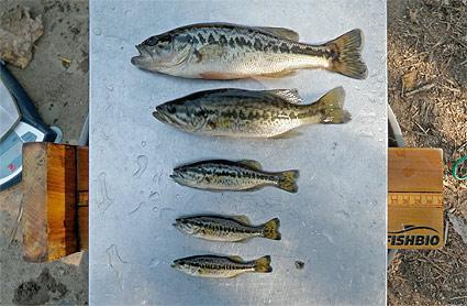 measuring varying sizes of black bass
