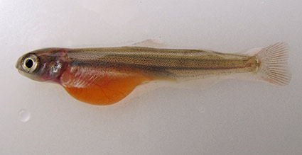 chinook-salmon-alevin