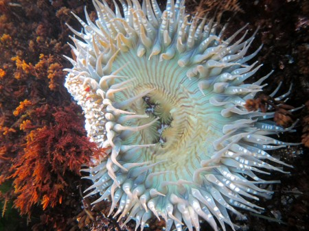 Sea Anemone west coast