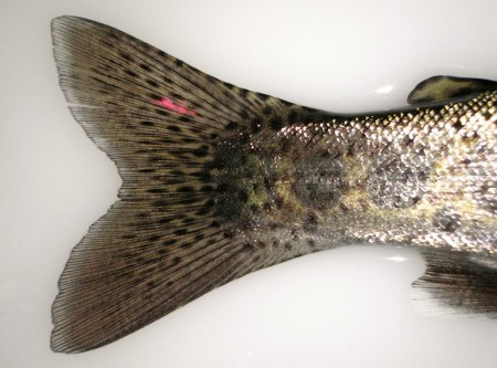 marking the caudal fin of a rainbow trout
