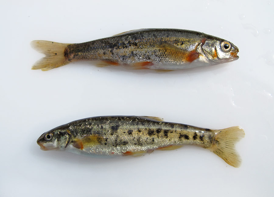 about face speckled dace and california roach
