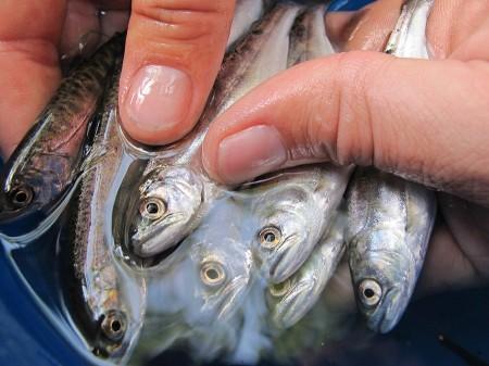 salmon smolts survey