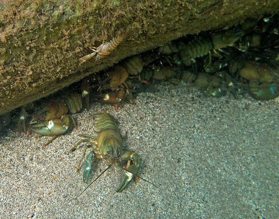 Mess O Crayfish