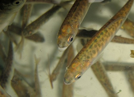 hatchery fish juvenile chinook
