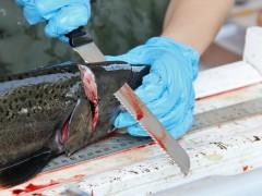 Scalping Salmon