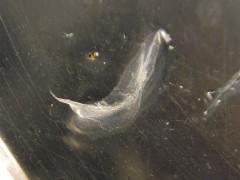 Fish Cleithra Bone