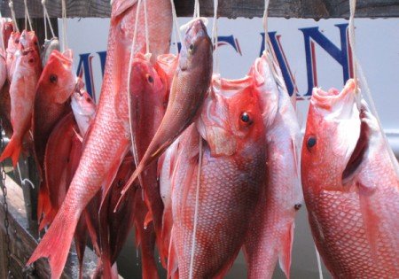 fresh caught red snapper