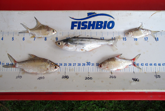 Lao Fish Diversity