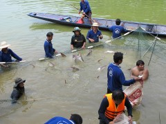 Rounding up Mekong Giant Catfish at a conservation hatchery