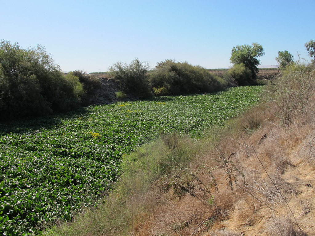 A green tunnel of water hyacinth on the Tuolumne River