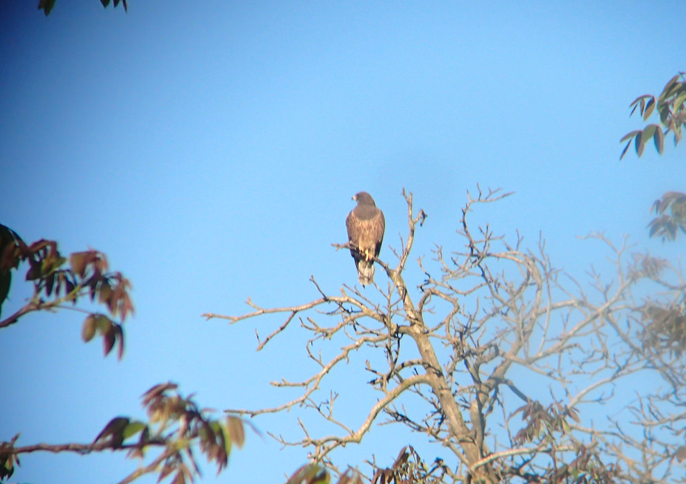 An adult Swainson's hawk perching in an orchard