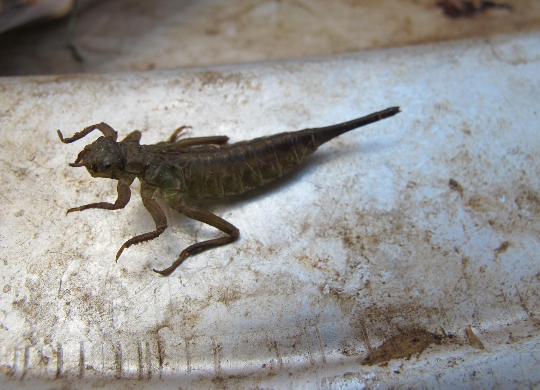 Aquatic insect in a Lao market