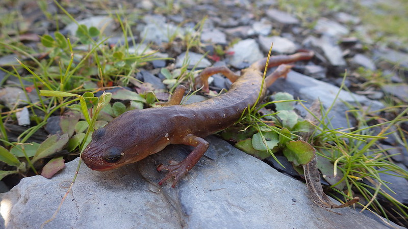 Arboreal salamander