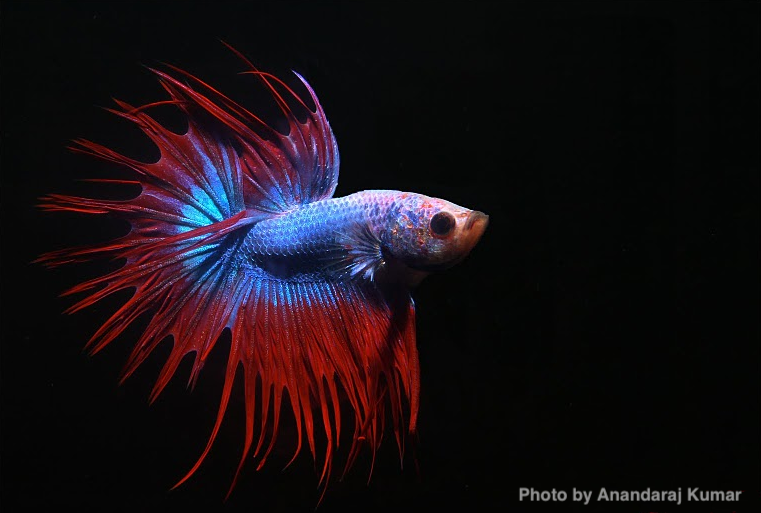 Betta_splendens_male_crowntail