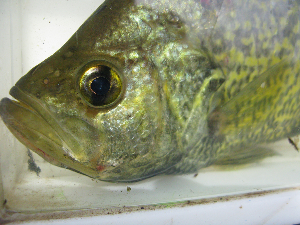 The smelling fish: how do fish smell?