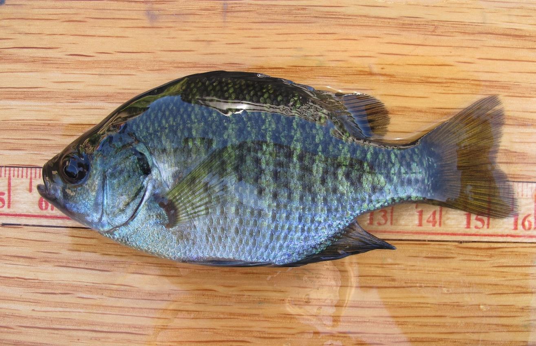 Bluegill Sunfish