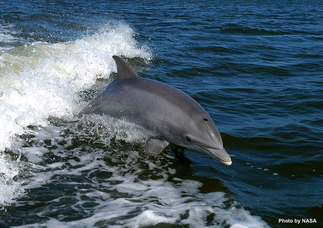 Bottlenose dolphin NASA