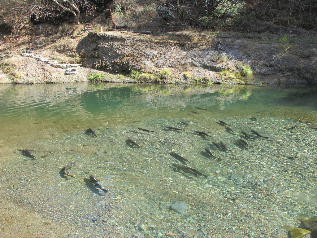 Butte Creek spring-run salmon