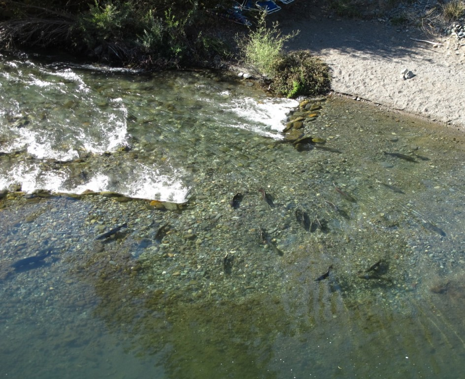 Butte Creek Spring-Run Chinook Salmon