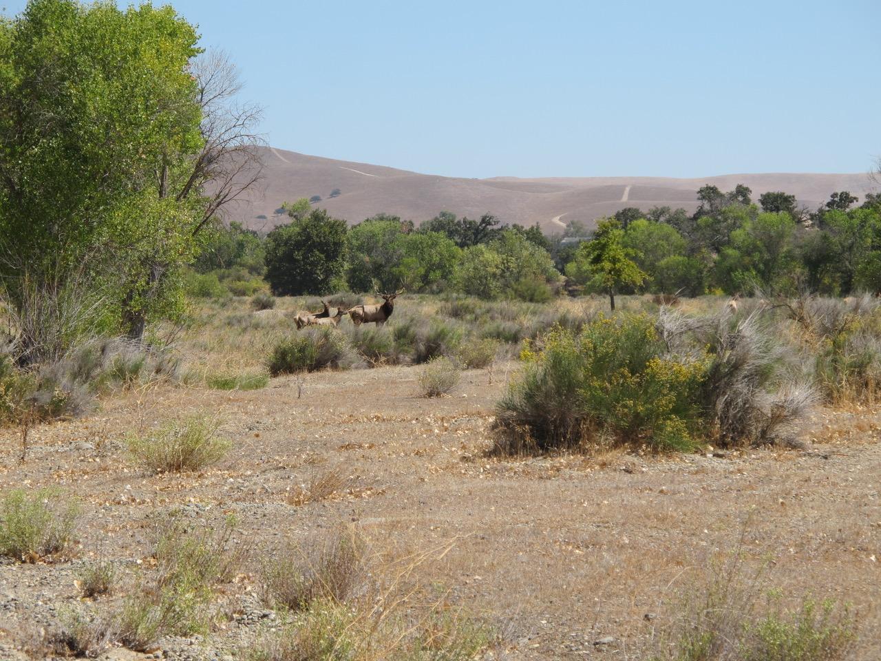 Camp-Roberts-Elk_9242012_004