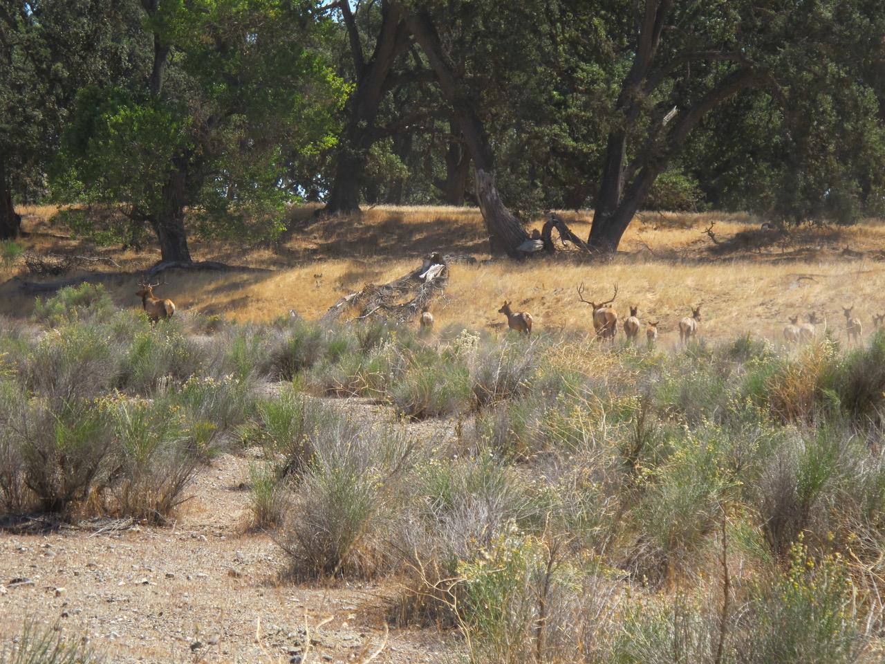 Camp-Roberts-Elk_9242012_008