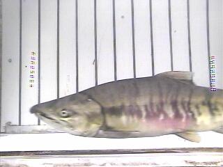 Chum salmon 2009