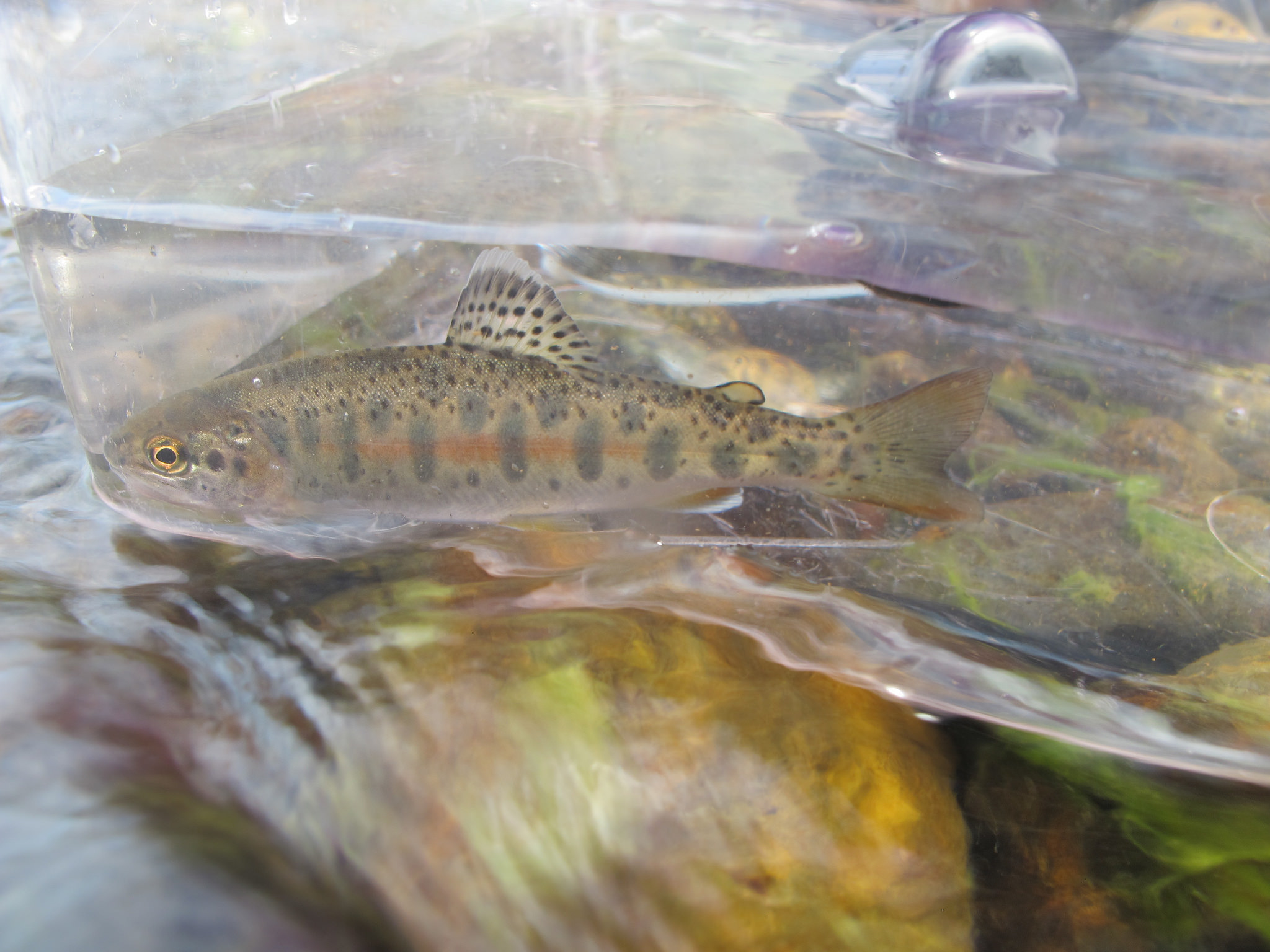 Collected rainbow trout