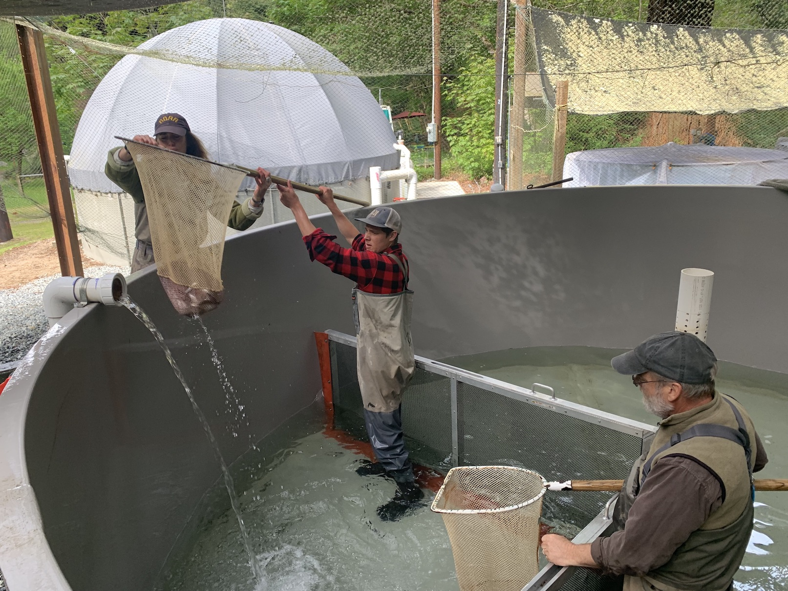 Collecting juvenile coho at conservation hatchery