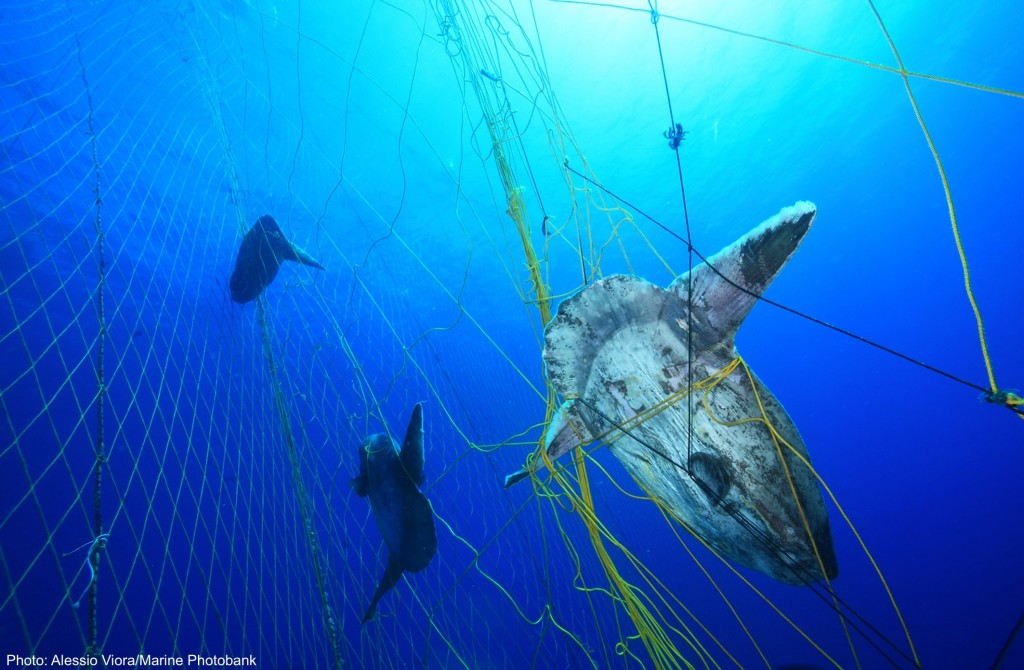 Bycatch of sunfish ina tuna net