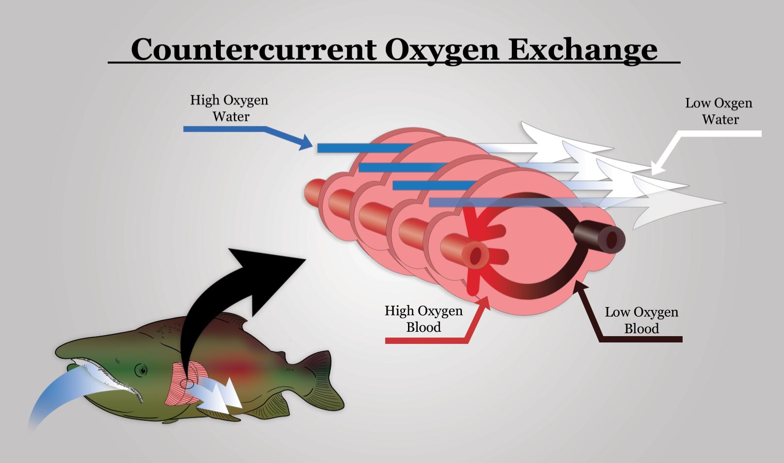 An Efficient Exchange Countercurrent Oxygen Exchange In Fish