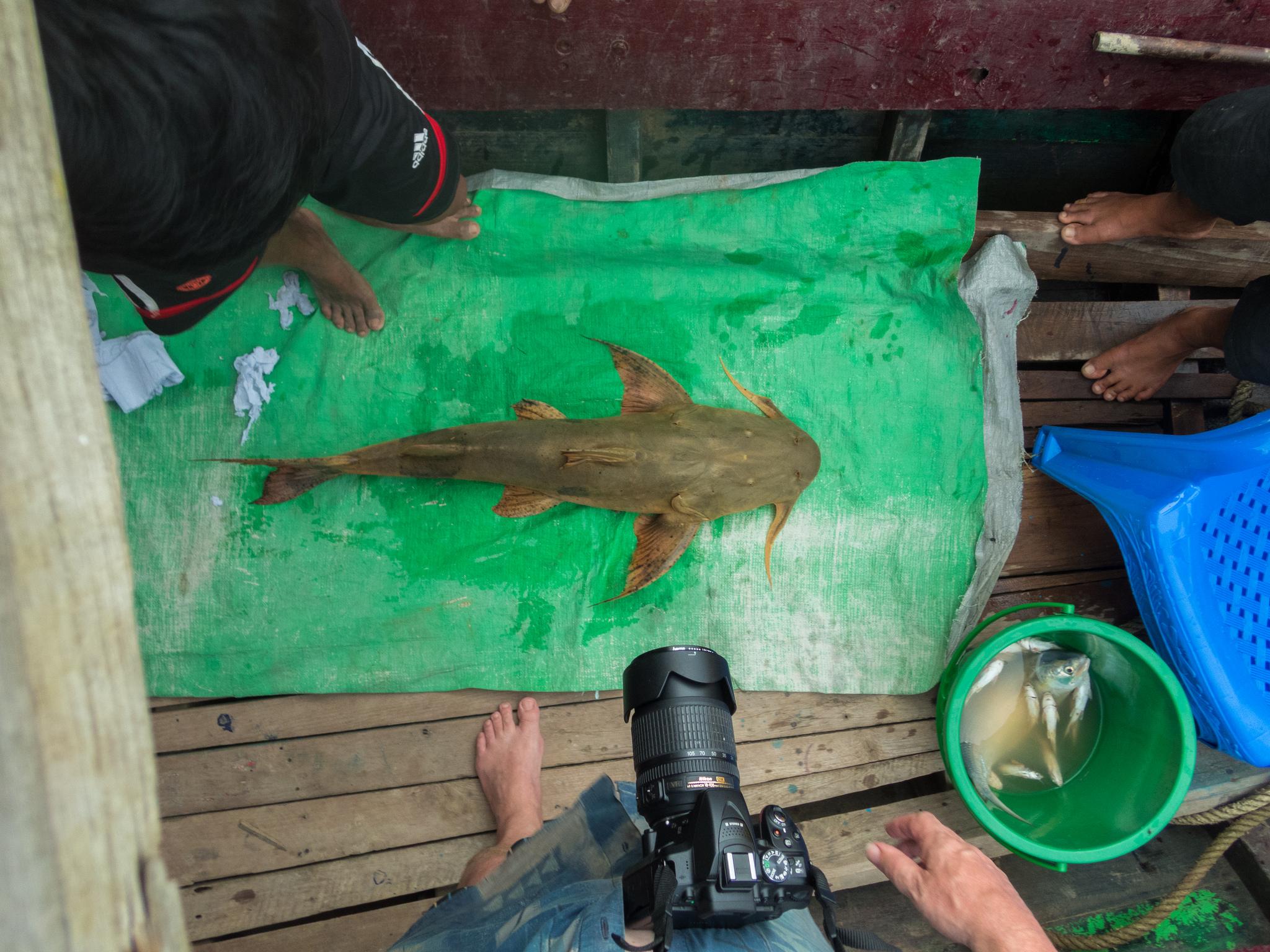 Crocodile fish catch Myanmar