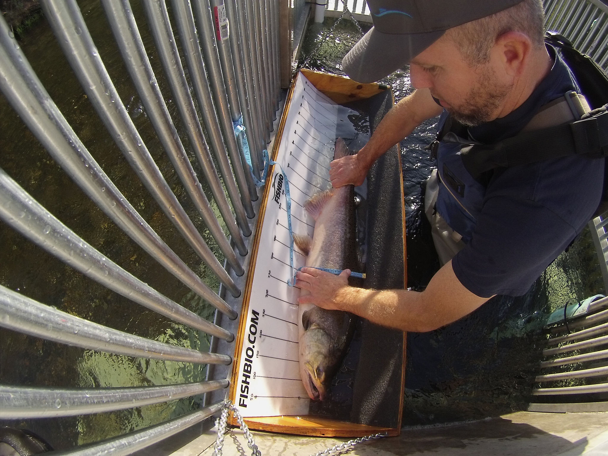 FISHBIO technician Mike Justice measures a Chinook salmon at the Stanislaus weir Oct 11 2018