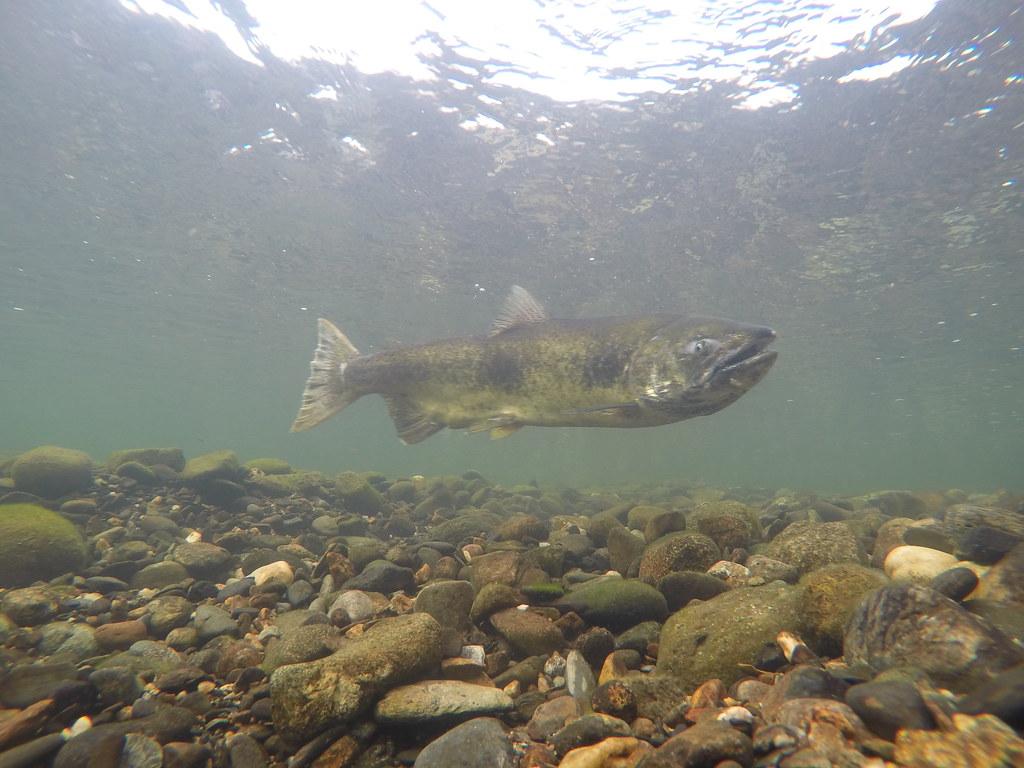 Female Chinook salmon