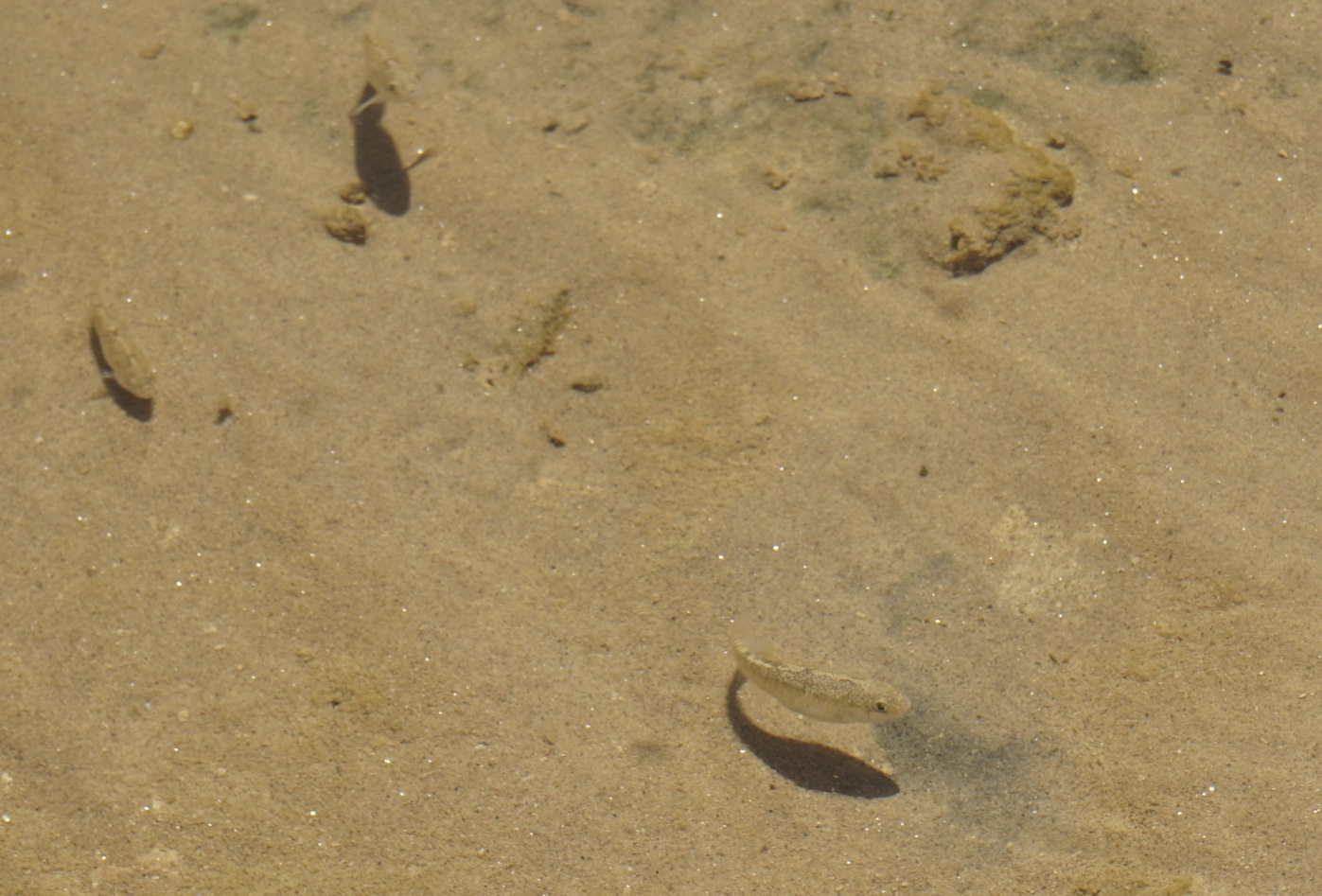 Female pupfish