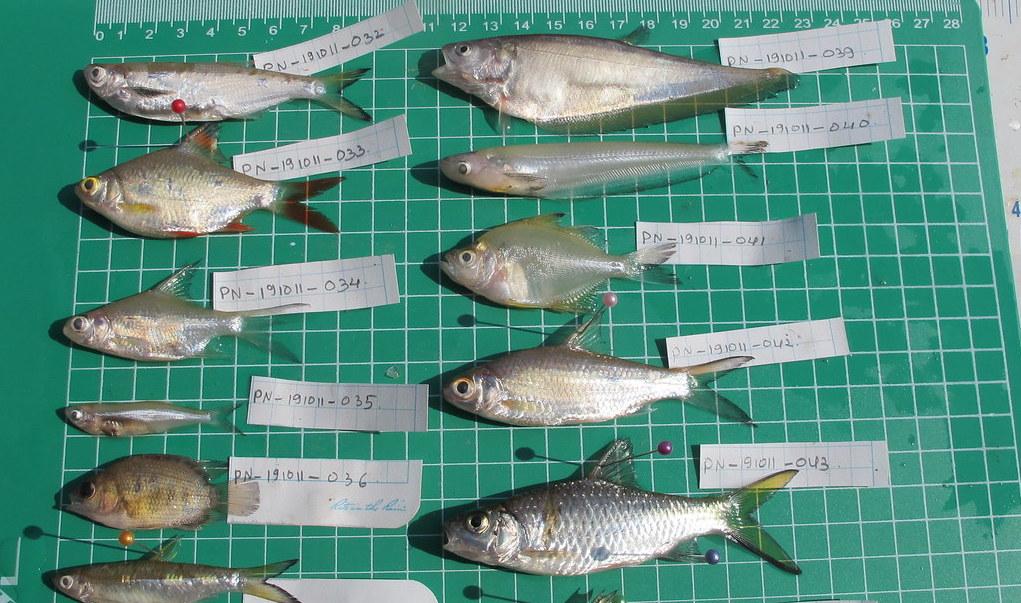 Fish Diversity Nam Kading River Laos