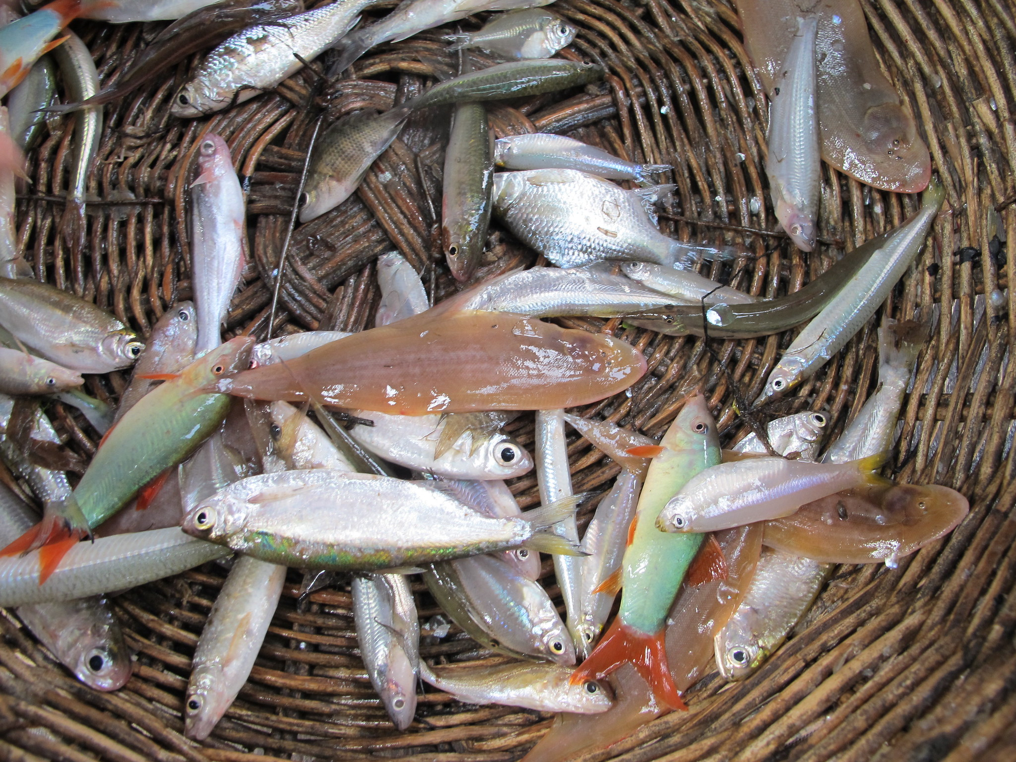 Fish from Cambodian dai fishery
