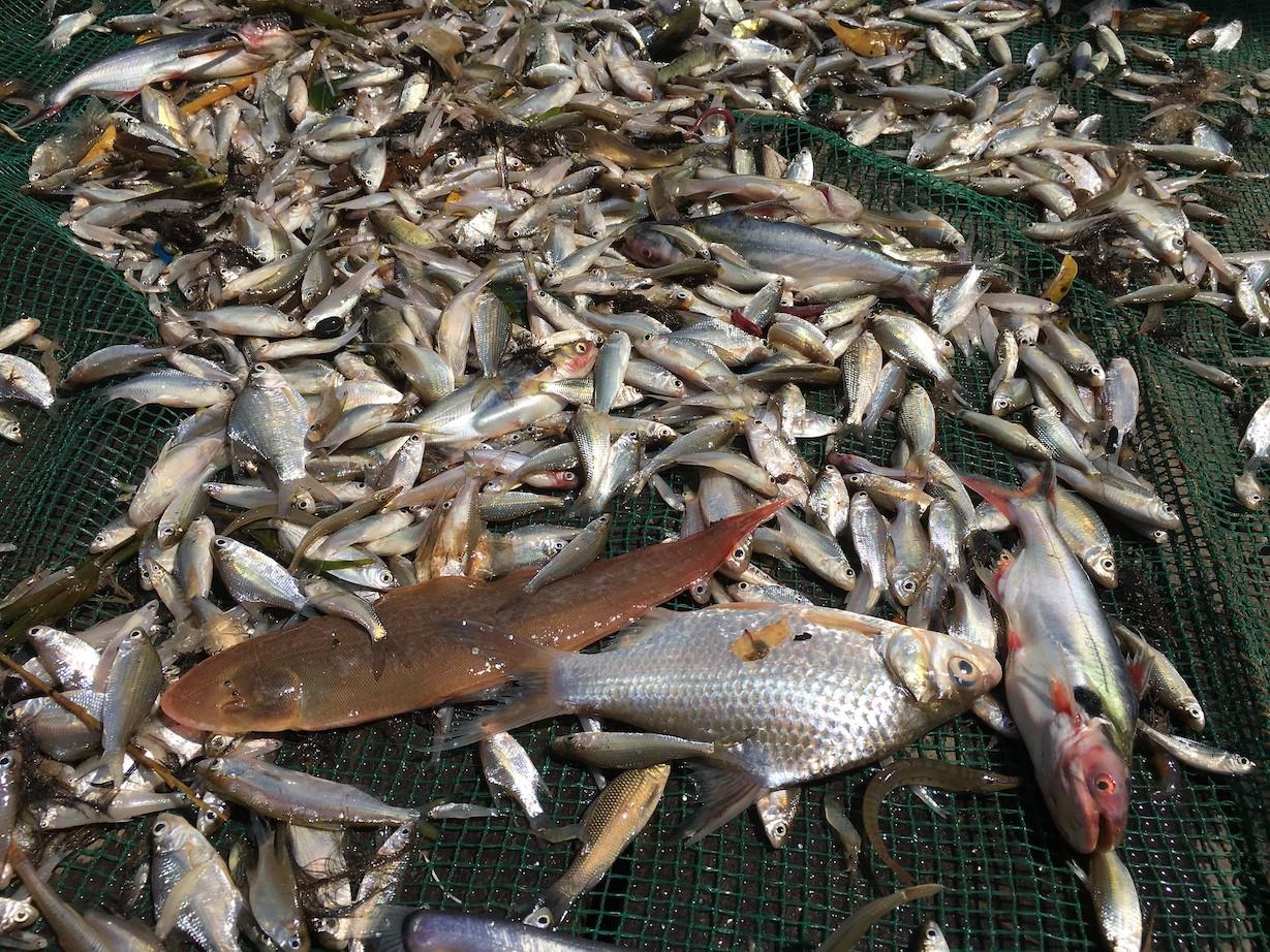 Fish from Dai net fishery